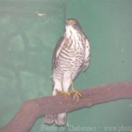 Accipiter virgatus affinis