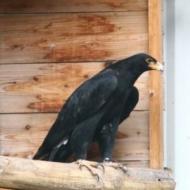 Aquila verreauxi