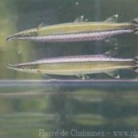 Characiformes (1)