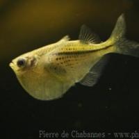 Characiformes (2)