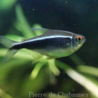 Characiformes (3)