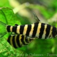 Characiformes (4)