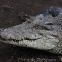 Crocodylians (2)