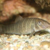 Cypriniformes (3)