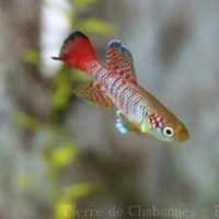 Cyprinodontiformes (4)