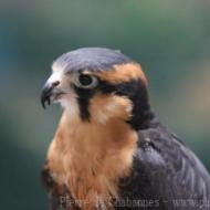 Falco femoralis septentrionalis