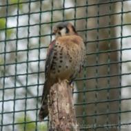 Falco sparverius sparverius