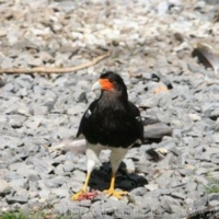 Falconiformes (3)