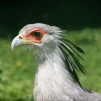 Falconiformes (4)
