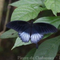 Lepidoptera (1)
