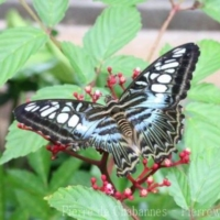 Lepidoptera (2)