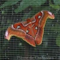 Lepidoptera (3)