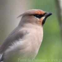 Passeriformes (1)