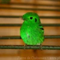 Passeriformes (10)
