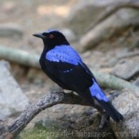 Passeriformes (11)