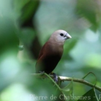 Passeriformes (13)