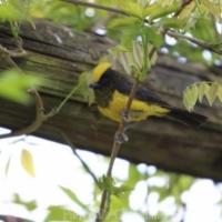 Passeriformes (14)