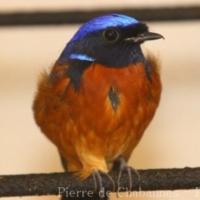 Passeriformes (17)