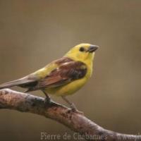 Passeriformes (20)