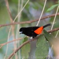 Passeriformes (25)