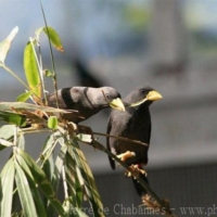 Passeriformes (26)
