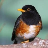 Passeriformes (27)
