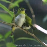 Passeriformes (29)