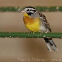 Passeriformes (6)