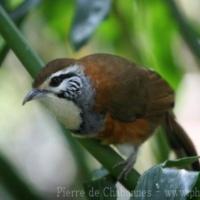Passeriformes (8)