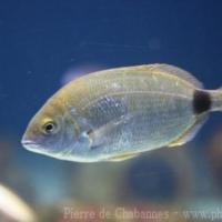 Perciformes (10)