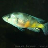 Perciformes (13)