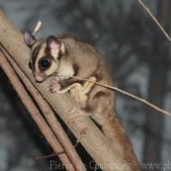 Petaurus breviceps breviceps 1