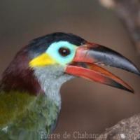 Piciformes (1)