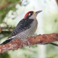 Piciformes (2)