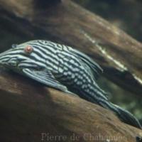 Siluriformes (2)