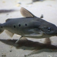Siluriformes (5)