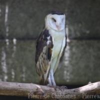 Strigiformes (2)