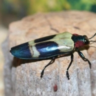 Chrysochroa buqueti