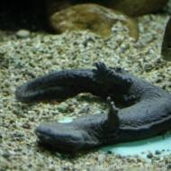 Cryptobranchius alleganiensis alleganiensis