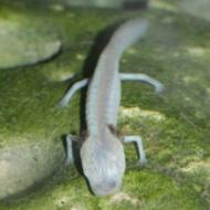 Eurycea rathbuni