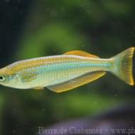 Lamprichthys tanganyikanus