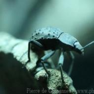 Polposipus herculeanus