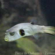 Arothron immaculatus