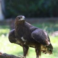 Aquila rapax vindhiana