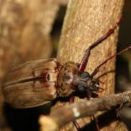 Aegosoma giganteum