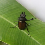 Odontolabis eremicola