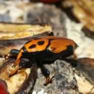 Rhynchophorus vulneratus